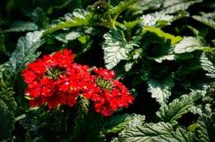 Kleines rotes Blumen-Makro Lizenzfreie Stockbilder