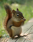 Kleines rotes Eichhörnchen Stockfoto