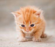 Kleines rotes Kätzchen Lizenzfreie Stockbilder