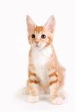 Kleines rotes Kätzchen, das auf weißem Hintergrund sitzt lizenzfreie stockfotos