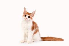 Kleines rotes Kätzchen, das auf weißem Hintergrund sitzt lizenzfreies stockbild