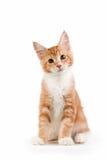 Kleines rotes Kätzchen, das auf weißem Hintergrund sitzt stockfotografie