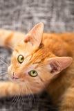 Kleines rotes Kätzchenporträt stockbild