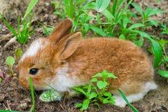 Kleines rotes Kaninchen, Kaninchenjungsnahaufnahme von Flander-Zucht, Lizenzfreies Stockfoto