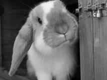 Kleines, süßes, neugieriges Kaninchen Lizenzfreie Stockfotos
