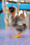 Kleines schönes flockiges Huhn Lizenzfreies Stockbild