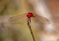 Kleines Scharlachrot Libellen- Lizenzfreies Stockfoto