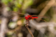 Kleines Scharlachrot Libellen- Lizenzfreie Stockfotos