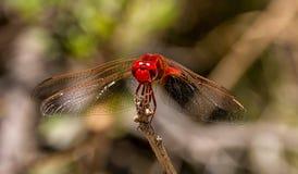 Kleines Scharlachrot Libellen- Stockfotografie