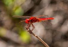 Kleines Scharlachrot Libellen- Lizenzfreie Stockfotografie