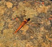 Kleines Scharlachrot Libellen- Stockbild