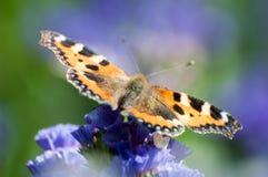 Kleines Schildpatt, das auf purpurrotem Wildflower hockt stockfoto