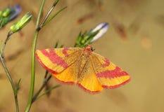 Kleines Schmetterling Lythria-cruentaria Stockbild