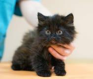 Kleines schwarzes Kätzchen mit gelben Augen Lizenzfreie Stockfotografie