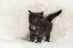Kleines schwarzes Maine-Waschbärkätzchen, das auf weißem Hintergrundpelz aufwirft Stockbild