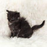 Kleines schwarzes Maine-Waschbärkätzchen, das auf weißem Hintergrundpelz aufwirft Stockbilder