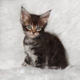 Kleines schwarzes Maine-Waschbärkätzchen der getigerten Katze, das auf weißem Hintergrund sitzt Stockbild