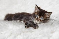 Kleines schwarzes Maine-Waschbärkätzchen der getigerten Katze, das auf weißem Hintergrund sitzt Stockfotografie