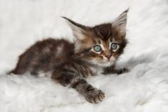 Kleines schwarzes Maine-Waschbärkätzchen der getigerten Katze, das auf weißem Hintergrund sitzt Stockfotos