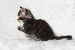 Kleines schwarzes Maine-Waschbärkätzchen der getigerten Katze, das auf weißem Hintergrund sitzt Lizenzfreie Stockbilder