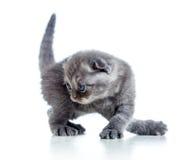 Kleines schwarzes schottisches Katzenkätzchen auf weißem Hintergrund Lizenzfreie Stockfotos