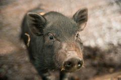 Kleines schwarzes Schwein Lizenzfreies Stockfoto
