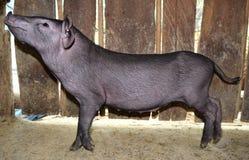 Kleines schwarzes Schwein ist Seitenansicht des Blickes Lizenzfreie Stockbilder