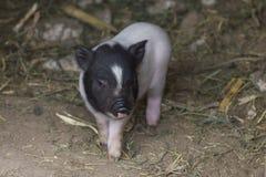 Kleines Schwein Lizenzfreie Stockfotografie