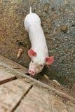 Kleines Schwein im Stall Stockfotos