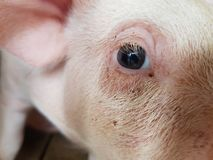 Kleines Schwein in wenigem Bauernhof Stockbild