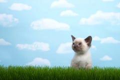 Kleines siamesisches Kätzchen im Gras mit Himmelhintergrund Lizenzfreies Stockfoto
