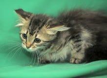Kleines sibirisches Kätzchen mit einem erschrockenen Blick Stockbilder