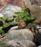 Kleines Streifenhörnchen Stockbilder