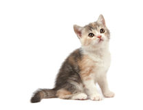 Kleines three-color Kätzchen Stockbild