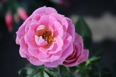 Kleines und schönes rosebush stockbild