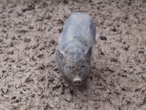 Kleines Vietnam-Schwarzschwein orf-Ferkel total schmutzig im Schlamm auf dem Bauernhof nach dem Regen Stockbilder