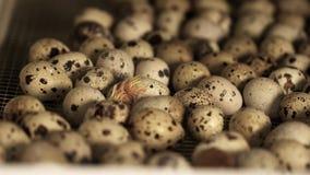 Kleines Wachtelküken, das im Stapel von Eiern im Vogelbauernhofbrutkasten ausbrütet stock footage