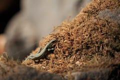 Kleines Waldeidechse Darevskia-uzzelli auf dem Licht Lizenzfreie Stockbilder
