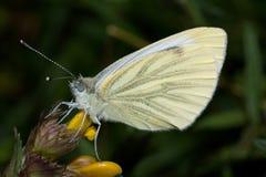 Kleines Weiß butterly Lizenzfreies Stockbild