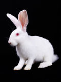 Kleines weißes flaumiges des Kaninchens Stockfoto