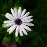 Kleines weißes Gänseblümchen Lizenzfreie Stockfotos