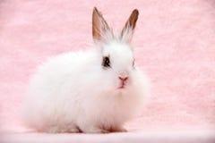Kleines weißes Hauskaninchen auf rosafarbenem Hintergrund stockfotografie