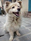 Kleines weißes Hundesitzenlächeln lizenzfreies stockfoto