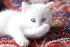 Kleines weißes Kätzchen, das die Tatze liegt und beißt Lizenzfreies Stockfoto