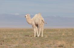 Kleines weißes Kamel Stockfoto