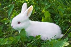 Kleines weißes Kaninchen Stockfotografie