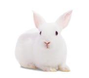 Kleines weißes Kaninchen Stockbilder
