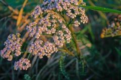 Kleines weißes Wachsen der wilden Blumen auf Feld in Neuseeland lizenzfreie stockfotografie