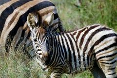 Kleines weiden lassendes Zebra stockfotografie
