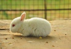 Kleines weißes Kaninchen Lizenzfreies Stockbild